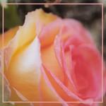 Mathias Grassow, The Fragrance Of Eternal Roses